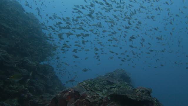 School of damselfish, pufferfish swimming in reef, Taiwan video
