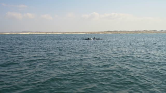 stockvideo's en b-roll-footage met slo mo school van dolfijnen springen uit de zee - perzische golfstaten