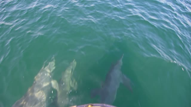 slo mo school of dolphins swimming in front of a boat - paesi del golfo video stock e b–roll