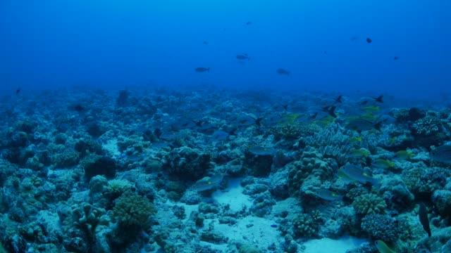vídeos y material grabado en eventos de stock de escuela de emperador pescado sargos y pargos en arrecife de coral - sea life park