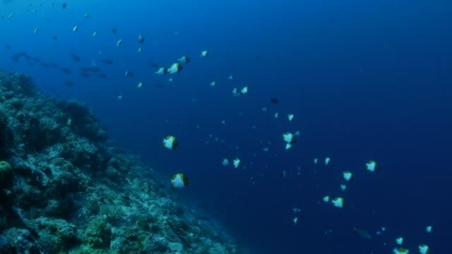 vídeos y material grabado en eventos de stock de escuela de peces, mariposas, jureles, en arrecife de coral - zona pelágica