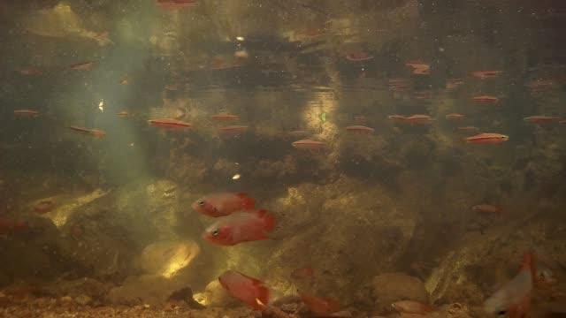schule des fisches gestreifte rasbora (rasbora daniconius) und schule der fische kombi schwanz (belontia signata)-endemisch in sri lanka, futter unter der oberfläche des wassers, sinharaja, sri lanka, südasien - endemisch stock-videos und b-roll-filmmaterial