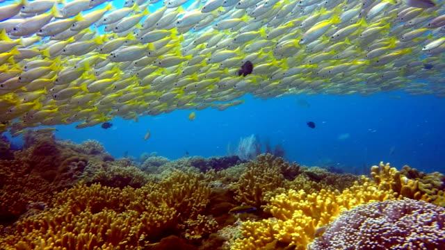 School of Fish Two Spot Snapper (Lutjanus biguttatus) and Big Eye Snapper (Lujanus lutjanus) video