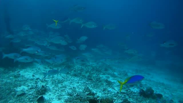 school of fish, two-spot red snapper - lutjanus bohar, and blue seachub - kyphosus cinerascens, oceania, indonesia, southeast asia - морской окунь стоковые видео и кадры b-roll