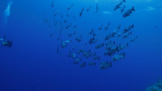 vídeos y material grabado en eventos de stock de escuela de peces submarinos, palau - zona pelágica