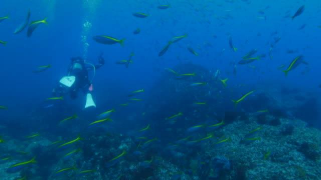 School of fusilier fish, scuba diving, undersea reef video
