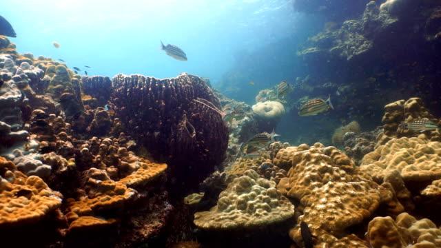 stockvideo's en b-roll-footage met school van glas vis aka pygmy sweeper (parapriacanthus ransonneti), gejaagd door geruite snapper (lutjanus decussatus). coral reef kwetsbaar ecosysteem oceaan omgeving op koh haa eilanden, andaman zee, krabi, thailand. - men blazer