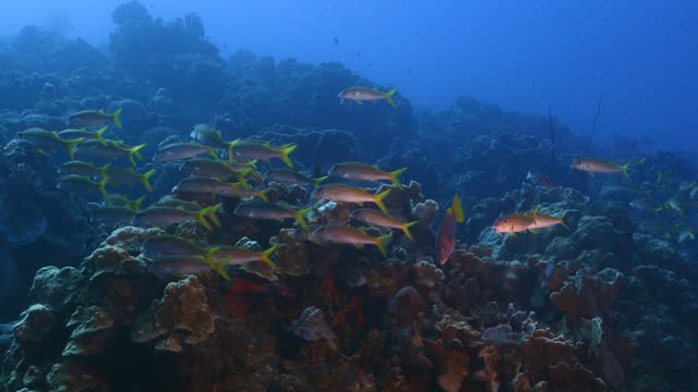 School of Goatfish in the turquoise water of coral reef in Caribbean Sea, Curacao video