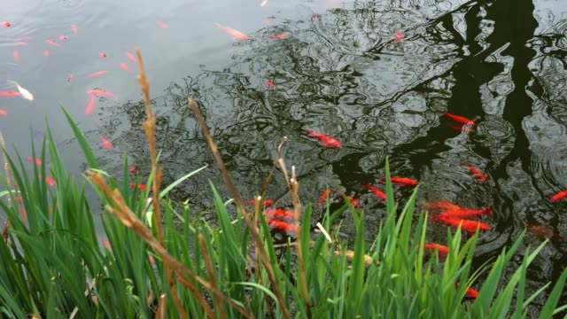 A school of goldfish approaches near the shore of a pond video