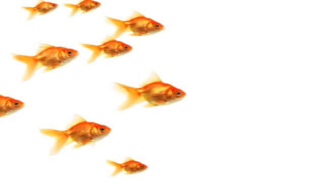 school of goldfish - fisk bildbanksvideor och videomaterial från bakom kulisserna