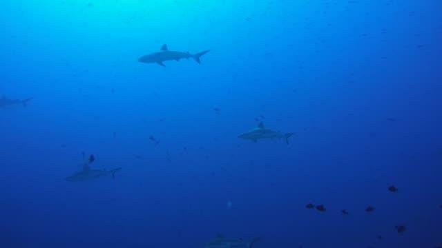 ブルーウォーター、インド洋、モルディブのグレイリーフシャーク (メジロザメ属 amblyrhynchos) の学校 - 広角撮影点の映像素材/bロール