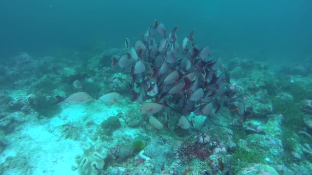 school of humpback red snapper - lutjanus gibbus near coral reef. indian ocean, maldives, asia - луциан стоковые видео и кадры b-roll