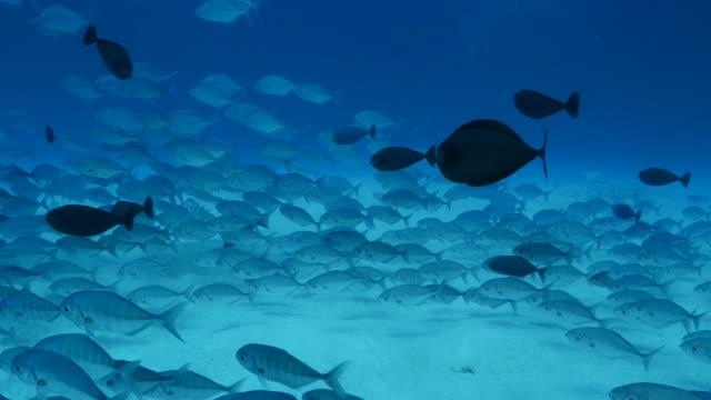 vídeos y material grabado en eventos de stock de la escuela de jack y unicornio peces submarinos - sea life park