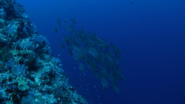vídeos y material grabado en eventos de stock de peces de la escuela de jack nadando cerca de diver - sea life park