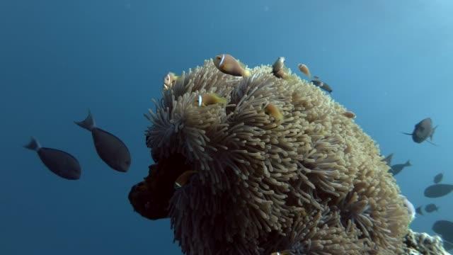 School of Maldive anemonefish swims near beautiful anemone and past them swims a school of Surgeonfish