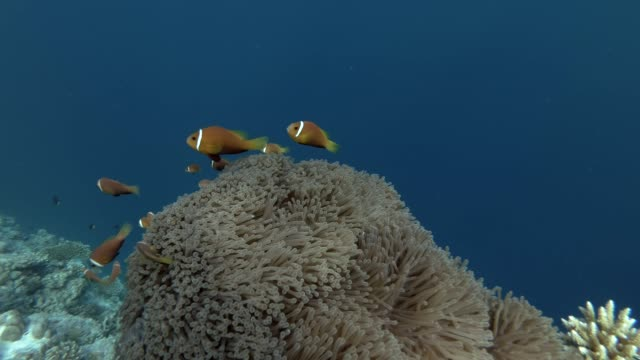 school of Maldive anemonefish swims near beautiful anemone in Indian Ocean, Maldives