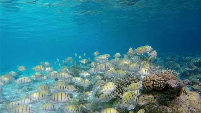 School of manini / Convict Surgeonfish on Maldives video