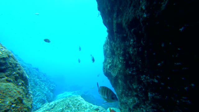 School of Moroccan white sea bream and a Red Hogfish swimming underwater over a reef off the coast of Madeira island
