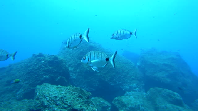 School of Moroccan white sea bream swimming underwater over a reef off the coast of Madeira island