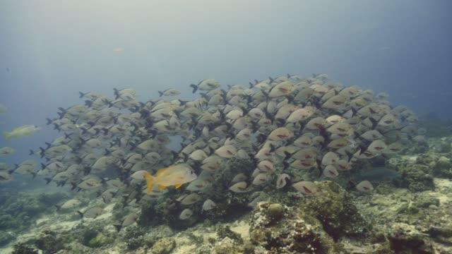 school of red snappers in maldives - луциан стоковые видео и кадры b-roll