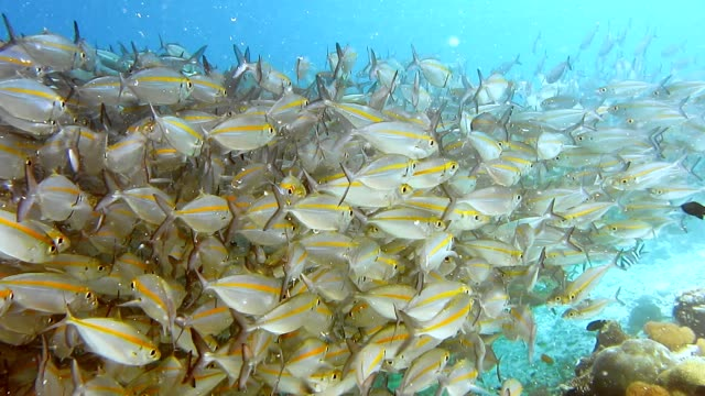 School of reef fish and scuba diver swimming under pier on Arborek Island in the Raja Ampat islands, West Papua School of reef fish and scuba diver swimming under pier on Arborek Island in the Raja Ampat islands, West Papua. ecosystem stock videos & royalty-free footage