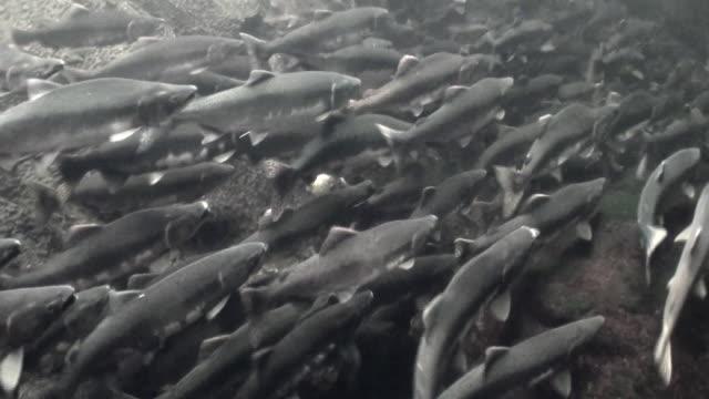School voor zalm vissen zwemmen om onder water te spawnen in de oceaan van Alaska. video