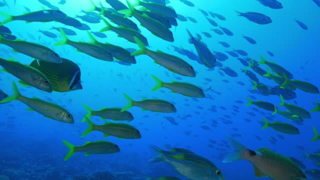 School of Sea Bream fish on the reef undersea Ogasawara Islands (Bonin Islands), Tokyo, Japan, 2016. (2016_0913_0920_09151531_1) undersea stock videos & royalty-free footage