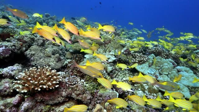 school of snapper fish on coral reef in ocean - луциан стоковые видео и кадры b-roll