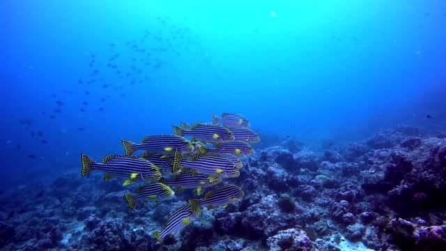 School of striped yellow fish on background of clear seabed underwater. School of striped yellow fish on background of clear seabed underwater. Swimming in world of colorful beautiful seascape. Aquarium of wild nature. Abyssal relax diving. animal family stock videos & royalty-free footage