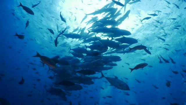 School of Trevally Jack fish below sea surface Darwin Island, Galapagos Islands, Ecuador - May 9, 2018 : Underwater sea life at Galapagos (2018_0428_0520-05-09_092731-A) undersea stock videos & royalty-free footage