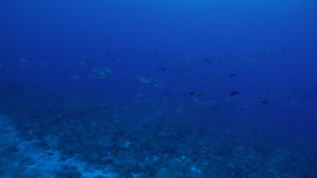 vídeos y material grabado en eventos de stock de escuela de peces gato de jurel en arrecife de coral - zona pelágica