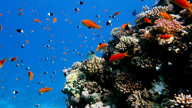 School of tropical fish in a colorful coral reef School of tropical fish in a colorful coral reef with water surface in background, Red sea, Egypt. Beautiful Aquatic Underwater Wildlife footage. aquatic organism stock videos & royalty-free footage