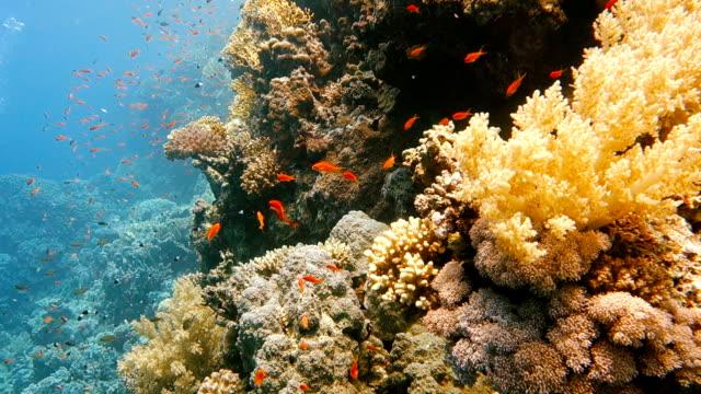 在五顏六色的珊瑚礁中吃熱帶魚學校 - 氧氣筒 個影片檔及 b 捲影像