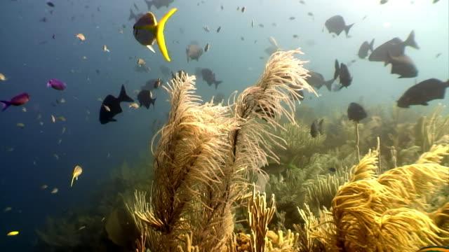 School van tropische vissen op achtergrond van onderwater landschap Caribische zee. video