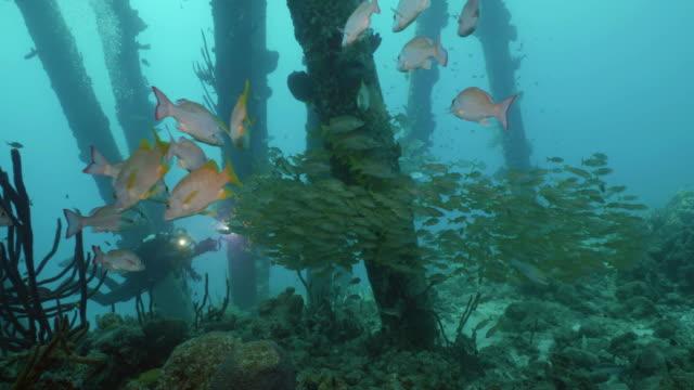 school of tropical fishes at salt pier, bonaire - луциан стоковые видео и кадры b-roll