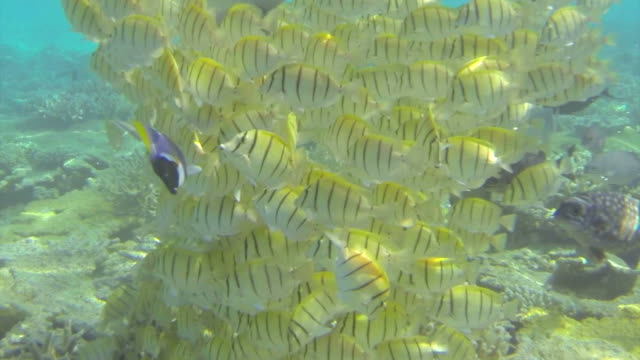 school of tropical yellow fish feeding on coral - sky diving video stock e b–roll