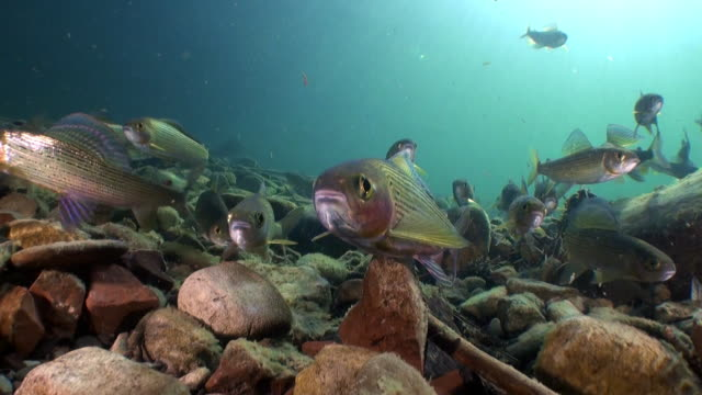 school of trout fish underwater of lena river in siberia of russia. - trout video stock e b–roll