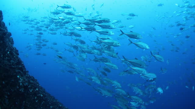 School of tuna fish on blue background of sea underwater in search of food.