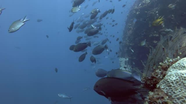 school of unicornfish and other fish swim in the blue water near the the board shipwreck usat liberty. sleek unicornfish - naso hexacanthus, bali, oceania, indonesia - кораблекрушение стоковые видео и кадры b-roll