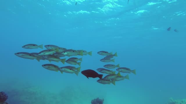 school of yellow snappers slowly swim over coral reef in the blue water. dory snapper or blackspot snapper - lutjanus fulviflamma, slow motion, underwater shots - луциан стоковые видео и кадры b-roll