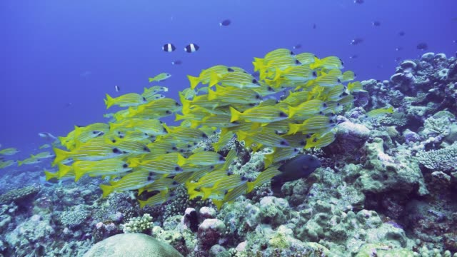 school of yellow striped snappers in maldives - луциан стоковые видео и кадры b-roll