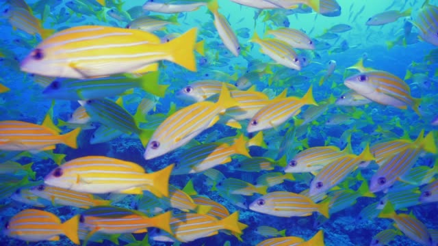 school of yellow striped snappers - луциан стоковые видео и кадры b-roll