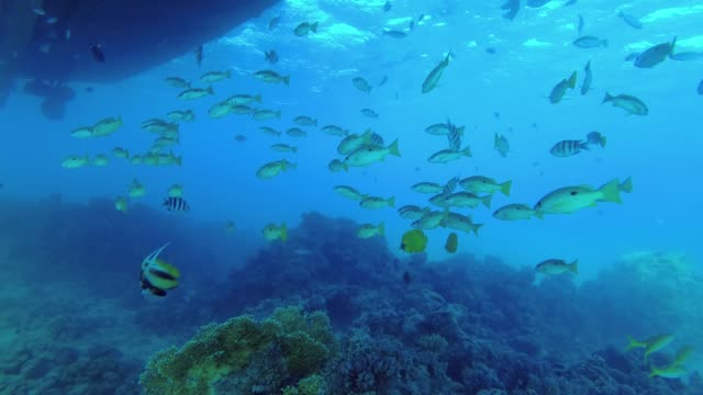 school of yellow tropical fish stands under the ship above the coral bottom in the blue water. school of dory snapper or blackspot snapper - lutjanus fulviflamma, underwater shots. 4k - 60 fps - луциан стоковые видео и кадры b-roll