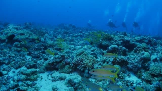 vídeos y material grabado en eventos de stock de escuela tropical mar peces, arrecife de coral, palau - micronesia