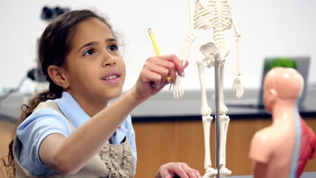 Schoolgirl examines joints on human skeleton model video