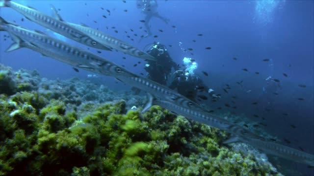 schooling barracudas and scuba divers in the mediterranean sea video