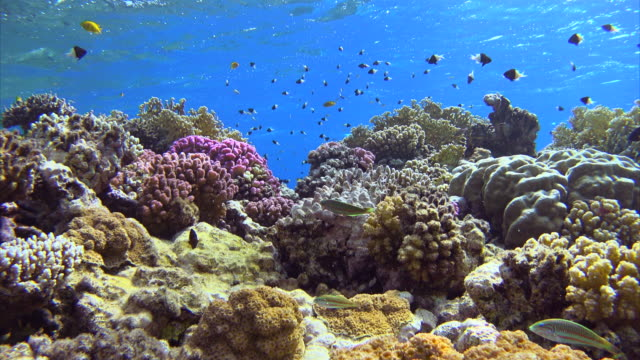 Schools of fish on beautiful coral reef at Red Sea Beautiful coral reef with lots of colorful fishes at Red Sea (Egypt). reef stock videos & royalty-free footage