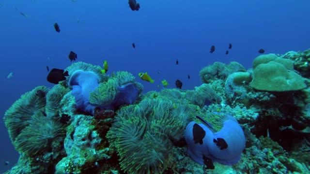 schools of Maldive anemonefish and Domino Damsel swims over big beautiful anemone