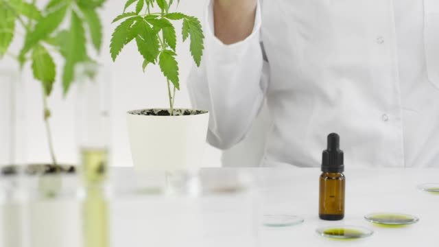 Scientist checking a pharmaceutical CBD oil in a laboratory on watch glass