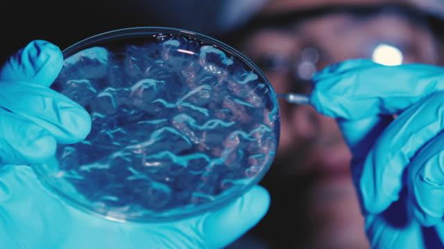 Scientist examines bacteria on petri dish